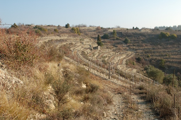 ヴィオニエの畑
